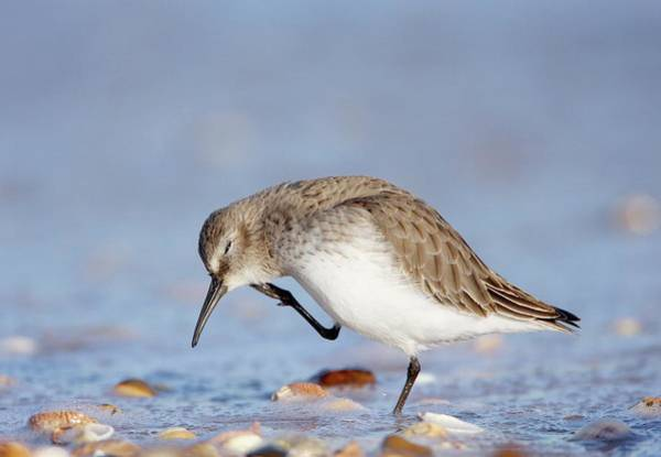Dunlin Photograph - Dunlin Scratching by John Devries/science Photo Library