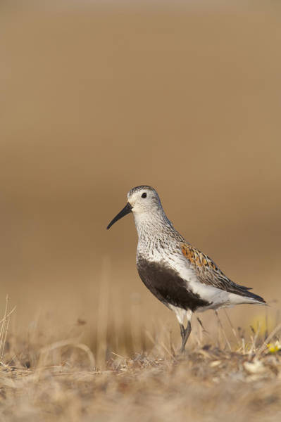 Dunlin Photograph - Dunlin Standing On Tundra Of Arctic by Milo Burcham