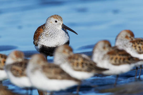 Dunlin Photograph - Dunlin With Resting Sandpipers by Ken Archer