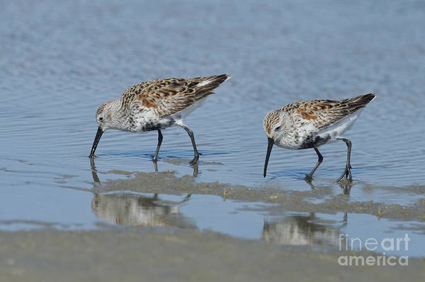 Dunlin Photograph - Dunlins by Anthony Mercieca