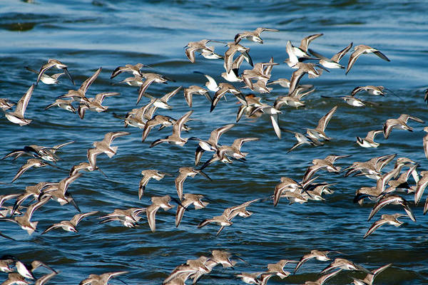 Photograph - Dunlins In Flight by Kristia Adams
