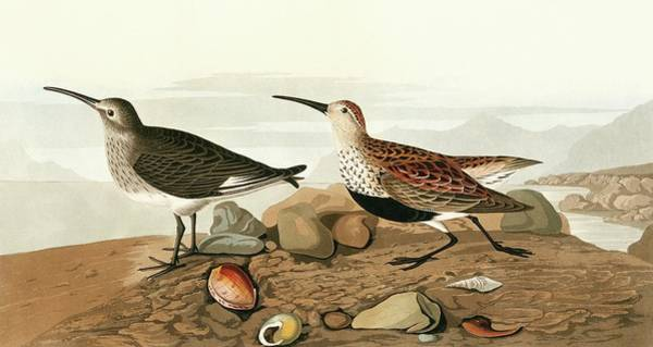 Dunlin Photograph - Dunlins by Natural History Museum, London/science Photo Library