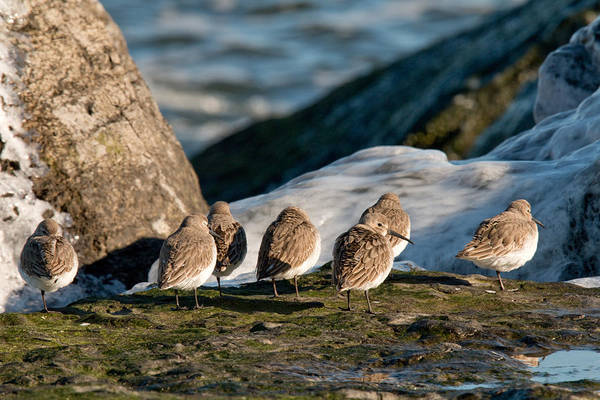 Photograph - Dunlins On The Jetty by Kristia Adams