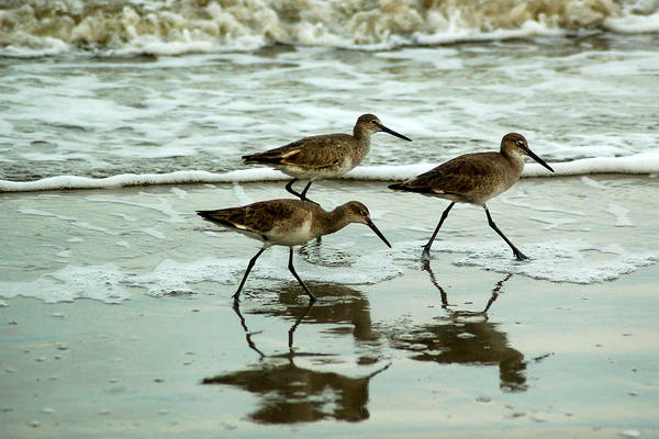 Photograph - Dunlin's On The Shore by Peter DeFina