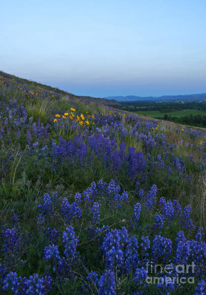 Hillside Photograph - Dusk Over Lupine by Mike  Dawson