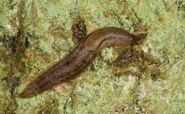 Molluscs Wall Art - Photograph - Dusky Arion Slug by Nigel Downer