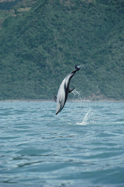 Photograph - Dusky Dolphin Jumping Kaikoura New by Flip Nicklin