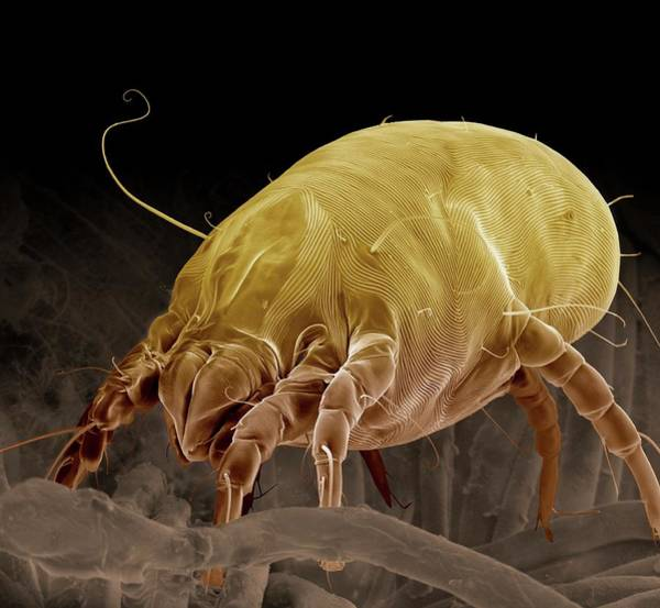 Arachnida Wall Art - Photograph - Dust Mite by Clouds Hill Imaging Ltd