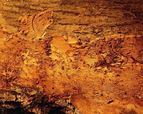 Elm Photograph - Dutch Elm Disease: Beetle Tracks In Elm Wood by Adam Hart-davis/science Photo Library