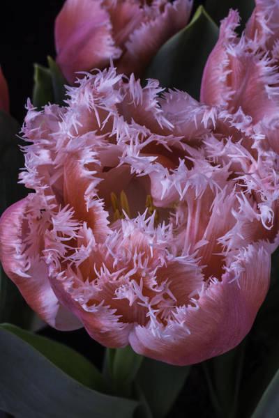 Dutch Tulip Photograph - Dutch Tulip by Garry Gay