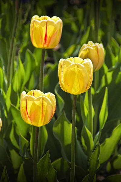 Photograph - Dutch Yellow Tulip Flowers On Windmill Island In Holland Michigan by Randall Nyhof