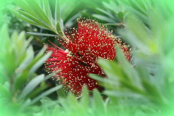 Photograph - Dwarf Bottle Brush Plant by Kathy Peltomaa Lewis