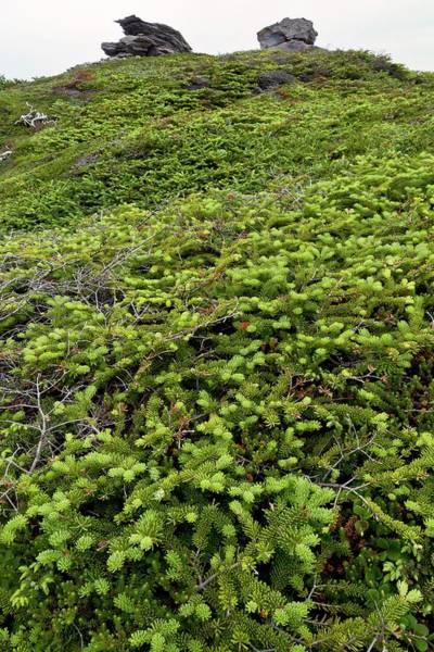Newfoundland Photograph - Dwarf Coastal Coniferous Vegetation by Bob Gibbons/science Photo Library