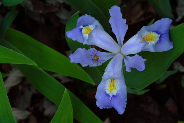 Photograph - Dwarf Crested Iris With Spider by Daniel Reed