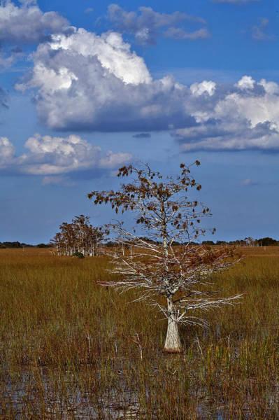 Photograph - Dwarf Cypress by Matthew Pace