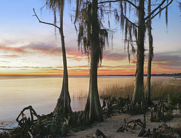 Bromeliad Photograph - Dwarf Cypress Trees Covered by Tim Fitzharris