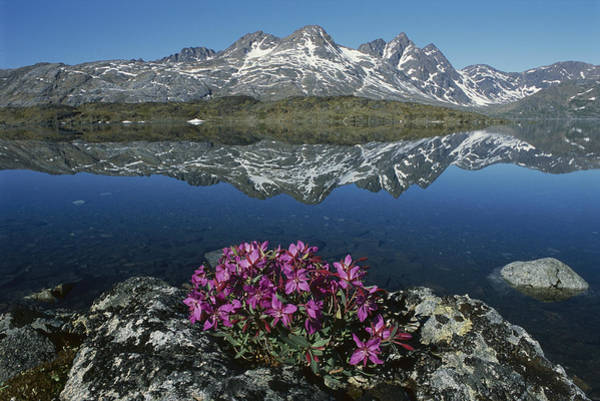 Dixon Photograph - Dwarf Fireweed With Mountains Greenland by Grant  Dixon