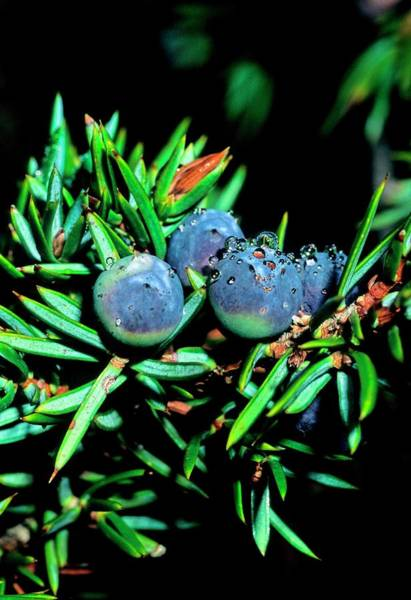 Juniper Berries Wall Art - Photograph - Dwarf Juniper (juniperus Nana) Berries by Bruno Petriglia/science Photo Library