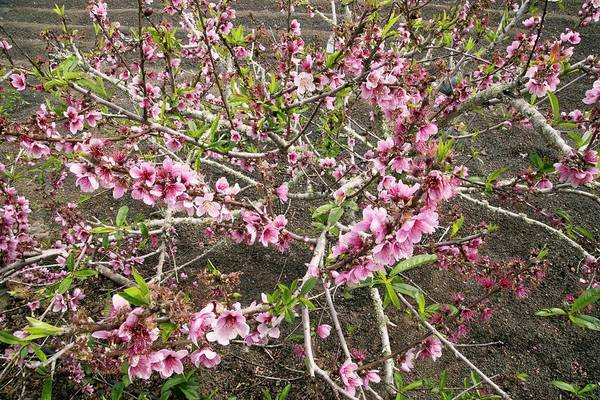 Persica Wall Art - Photograph - Dwarf Peach Tree (prunus Persica) by Bob Gibbons/science Photo Library