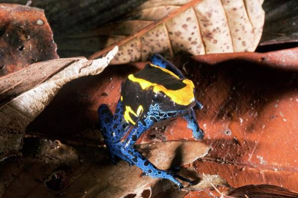 Poison Dart Frog Photograph - Dyeing Dart Frog by Philippe Psaila/science Photo Library
