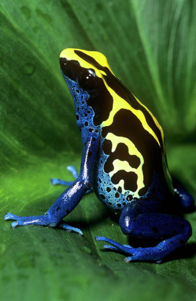 Wall Art - Photograph - Dyeing Poison Frog by Louise Murray/science Photo Library