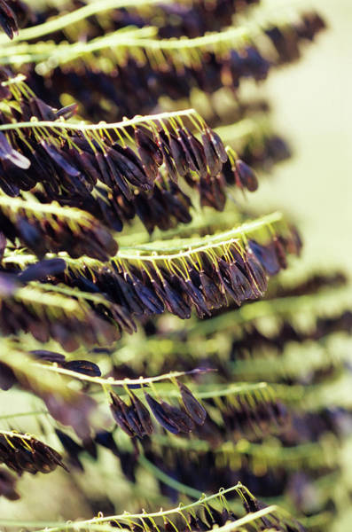 Biennial Photograph - Dyer's Woad Seed Pods by Duncan Smith/science Photo Library