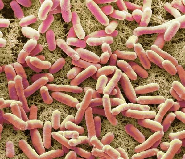 Escherichia Coli Photograph - E. Coli Bacteria by Steve Gschmeissner/science Photo Library