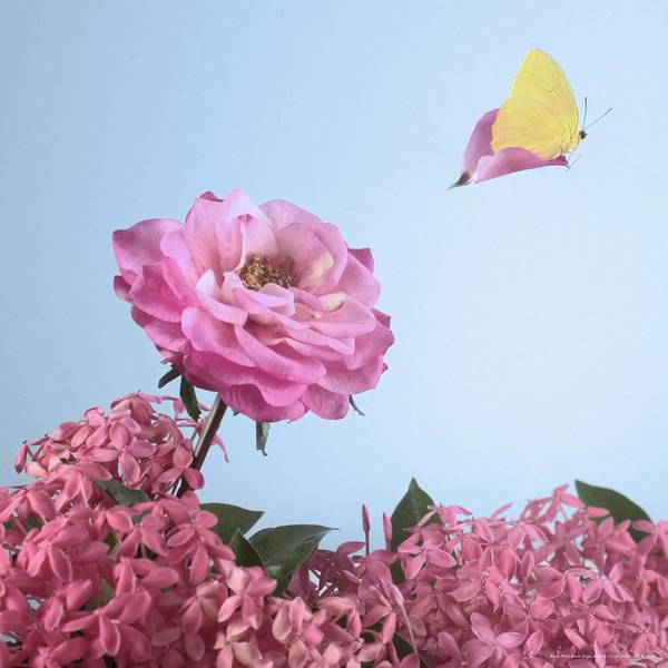 Sulfur Butterfly Wall Art - Photograph - Each Petal Bears Hope Aloft by Chrystyne Novack