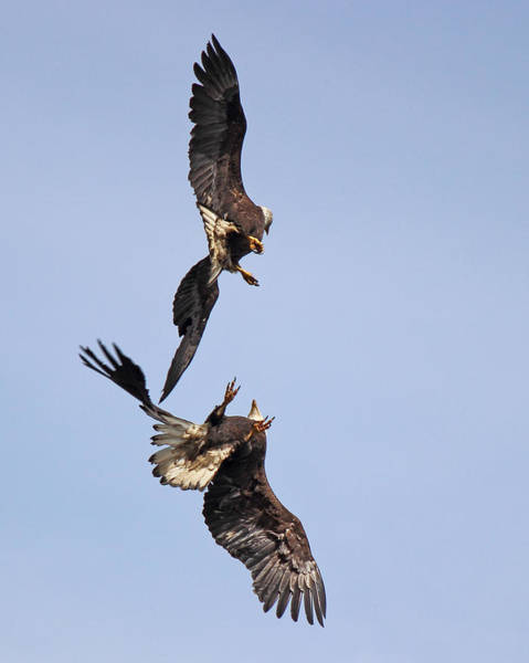 Mating Ritual Photograph - Eagle Ballet by Randy Hall