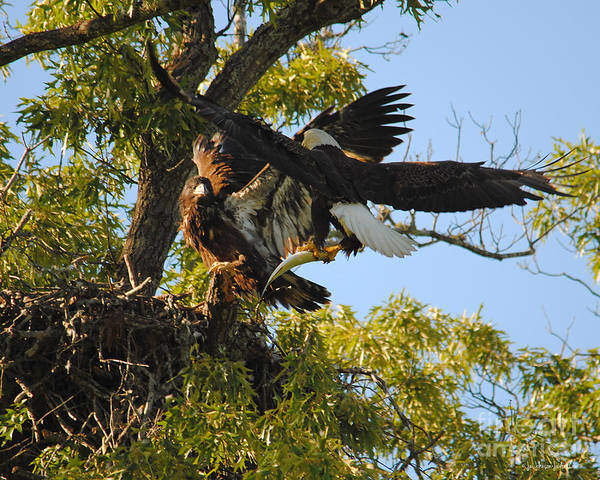 Photograph - Eagle Bringing Fish Into The Nest by Jai Johnson