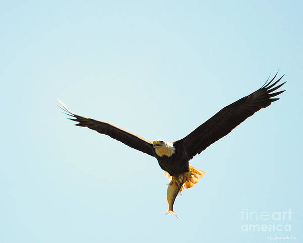 Photograph - Eagle Bringing In Fish 1 by Jai Johnson