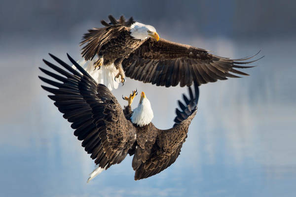 Photograph - Eagle Fight by Michael Ash