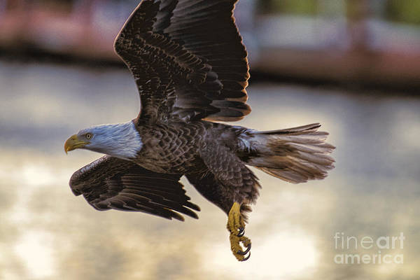 Photograph - Eagle Flying Close by Dan Friend