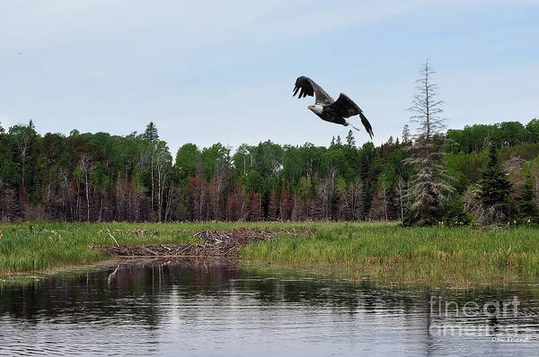Photograph - Eagle Flying Over Beaver Dam by Dan Friend