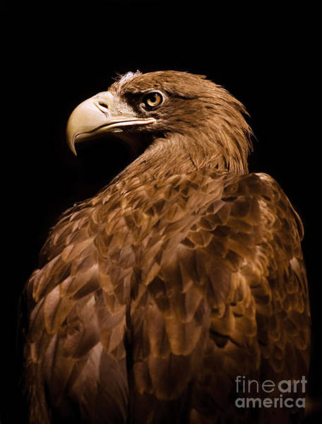 Accipitridae Wall Art - Photograph - Aquila Chrysaetos Golden Eagle Head Portrait  by Arletta Cwalina