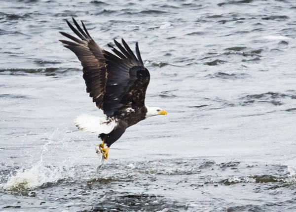 Photograph - Eagle Hunting On The Wisconsin River by Ricky L Jones