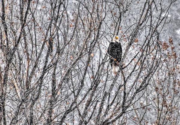Photograph - Eagle In Blizzard by Britt Runyon