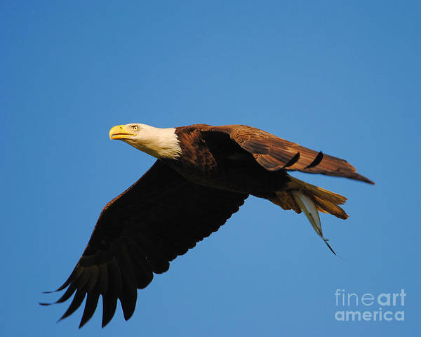 Photograph - Eagle In Flight With Fish by Jai Johnson