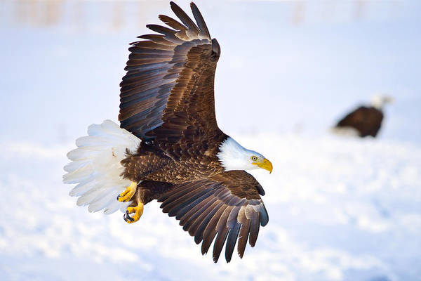 Photograph - Eagle Landing by Greg Norrell