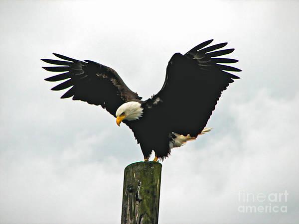 Wall Art - Photograph - Eagle Landing by Robert Bales