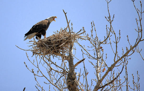 White-tailed Kite Photograph - Eagle On Blue Harring Nest Colorado.  by James Steele