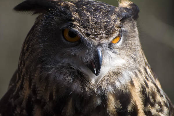 Photograph - Eagle Owl 2 by Chris Flees