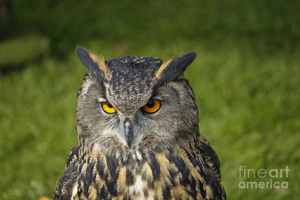 Photograph - Eagle Owl by Clare Bambers
