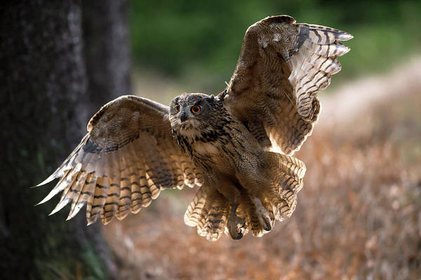 Wing Back Photograph - Eagle Owl Flying by Berndt Fischer