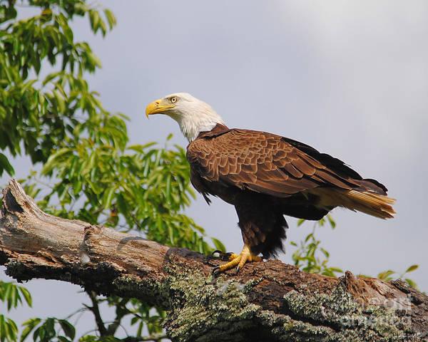 Photograph - Eagle Portrait I by Jai Johnson