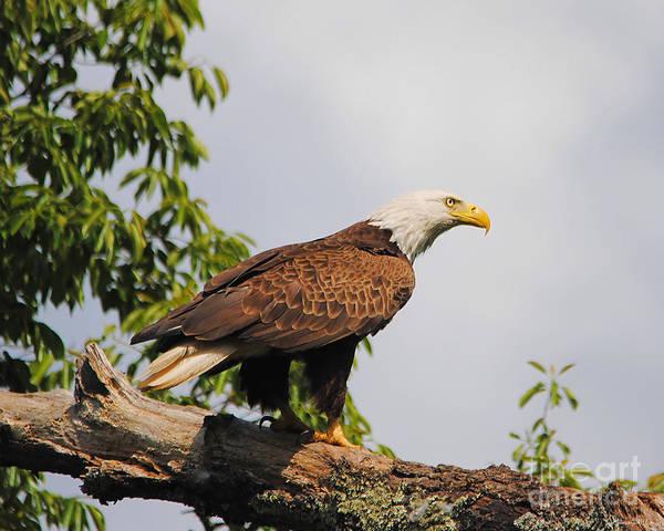 Photograph - Eagle Portrait II by Jai Johnson