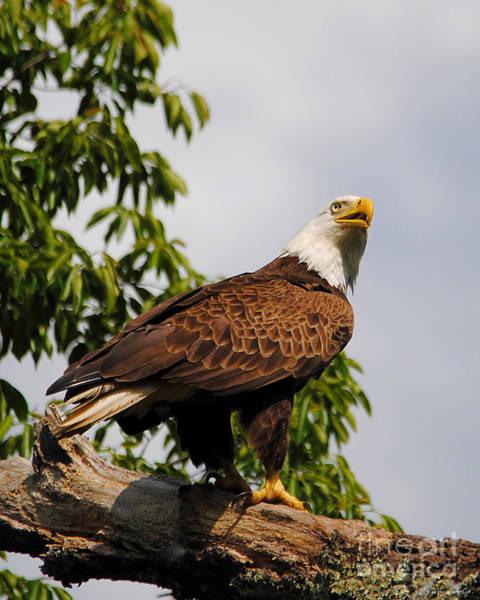 Photograph - Eagle Portrait IIi by Jai Johnson