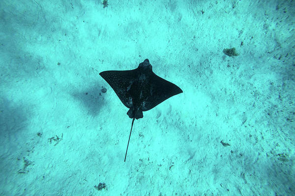 Eagle Ray Photograph - Eagle Ray Swimming In The Pacific by Panoramic Images