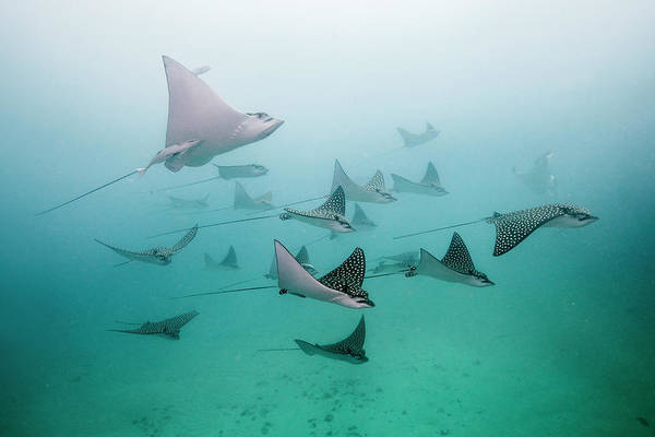 Underwater Photograph - Eagle Rays by Colors And Shapes Of Underwater World