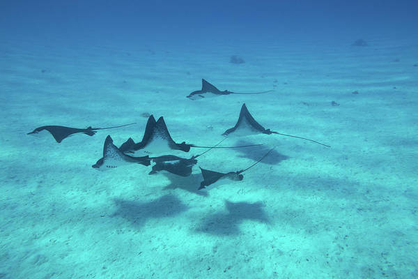 French Polynesia Photograph - Eagle Rays Swimming In The Pacific by Panoramic Images